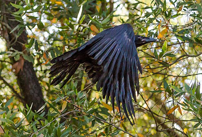 A flying crow