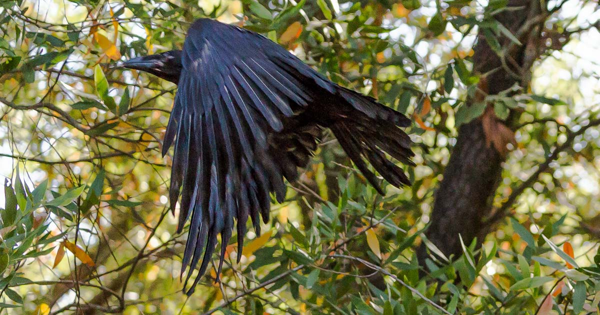 Rehabilitated Crow flying